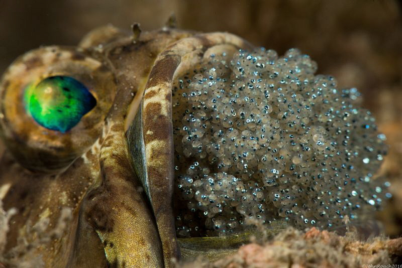 A mouthful...Banded Jawfish 