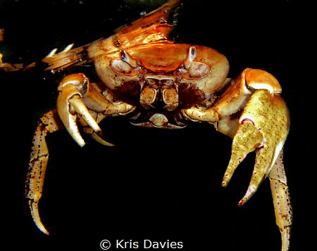 Dead crab found floating on the surface at the bay of pig... by Kris Davies