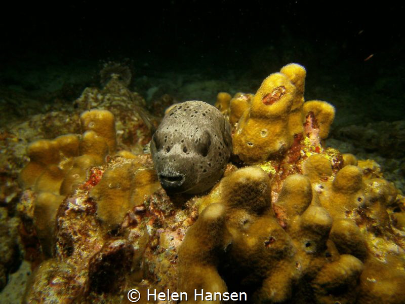 A night dive , just love pufferfish when they are sleeping by Helen Hansen