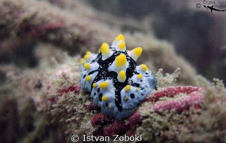 Varicose wart slug by Istvan Zoboki
