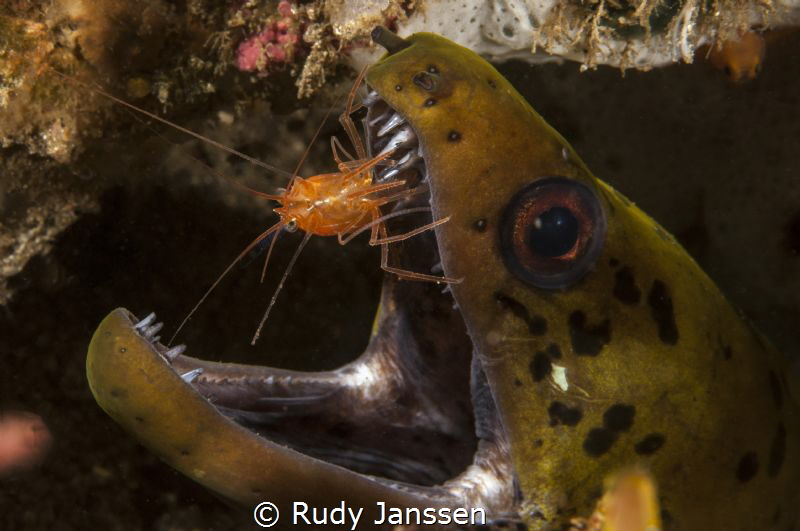 Moray with cleaning shrimp by Rudy Janssen