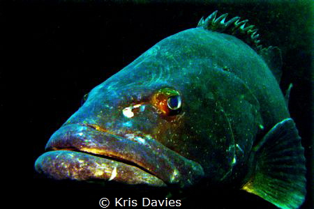 Goliath Grouper, snapped moments before he tried to eat m... by Kris Davies