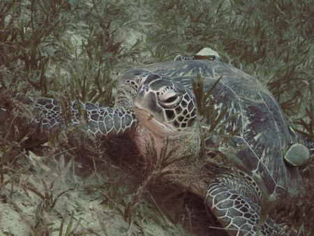 Turtle with two remoras in the seagrass. Bannerfish Bay, ... by Alexandra Caine