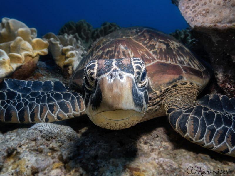 Green Sea Turtle, Apo Island by Aleksandr Marinicev