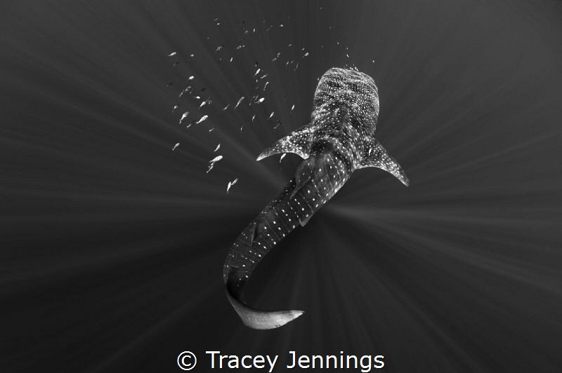 A whale shark in Papua. by Tracey Jennings