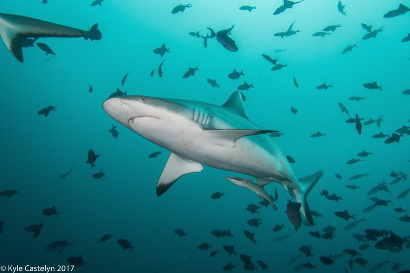 grey reef shark by Kyle Castelyn