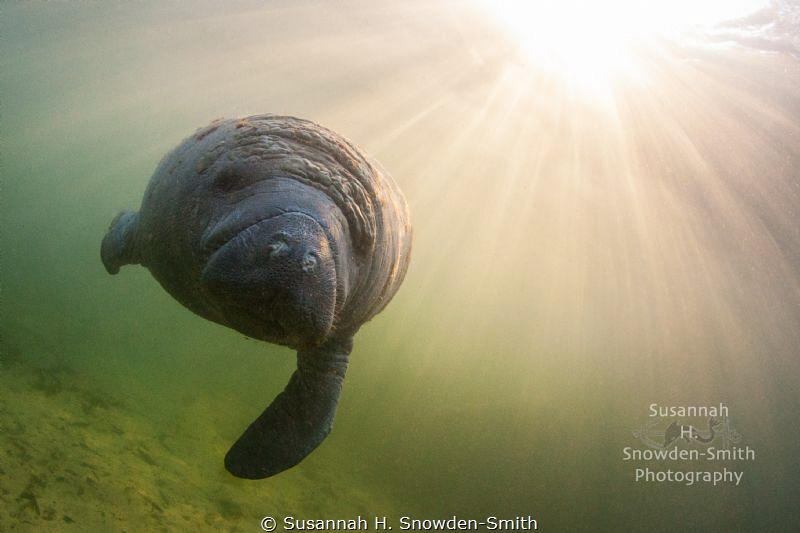 """Manatee In Sunbeams"" A manatee swims under sunbeams jus... by Susannah H. Snowden-Smith"