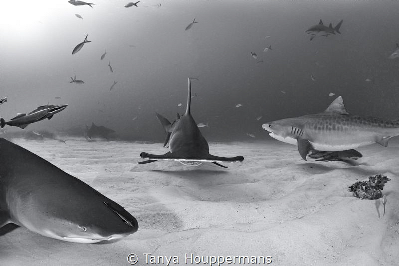 'When the Stars and the Sharks Align' - A hammerhead, tig... by Tanya Houppermans