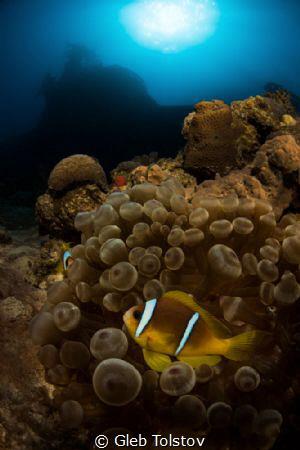 Clown fish under Satil wreck by Gleb Tolstov