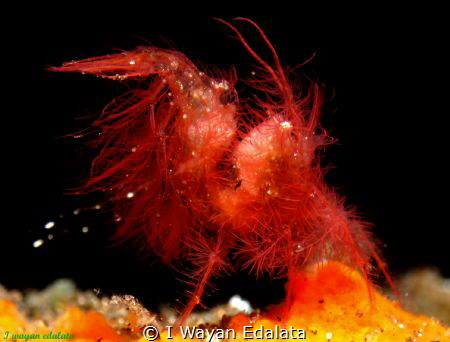 Chicken hairy shrimp.