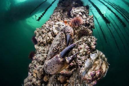 Eriphia verrucosa under oyster farm (Thau lagoon) by Mathieu Foulquié