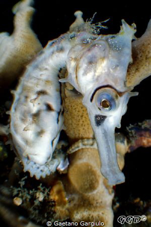 exploiting the bugeye for some seahorse perspective. crop... by Gaetano Gargiulo