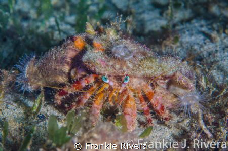 Decorator Crab Attire! A very nice dress! by Frankie Rivera