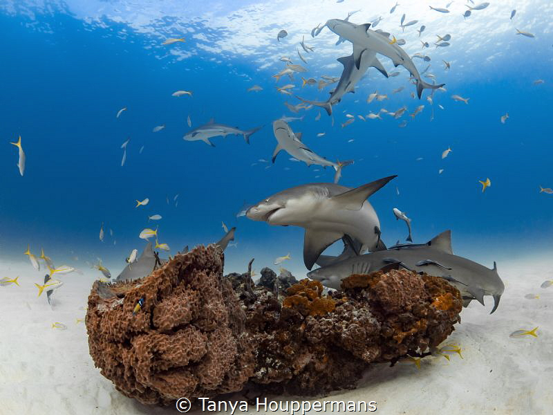 'Reef Rally' - Lemon sharks and Caribbean reef sharks swa... by Tanya Houppermans