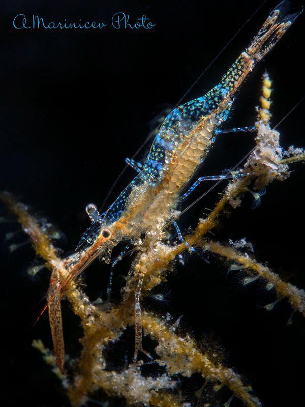 Ghost shrimp by Aleksandr Marinicev