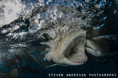 One big bite at Tiger Beach .... Lemon Shark fun! by Steven Anderson