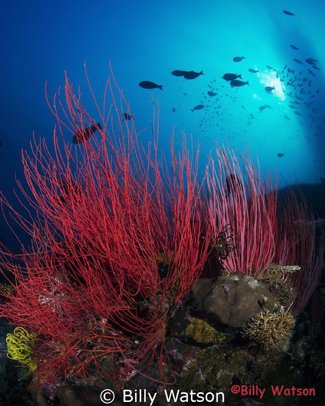 Red whip coral lending  a strong contrast to the blue wat... by Billy Watson