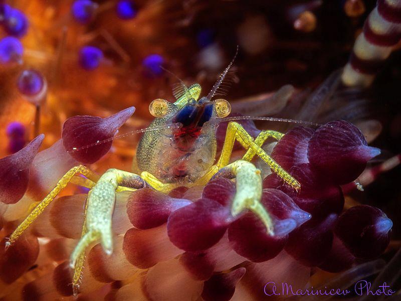 Fire Urchin Lobster by Aleksandr Marinicev