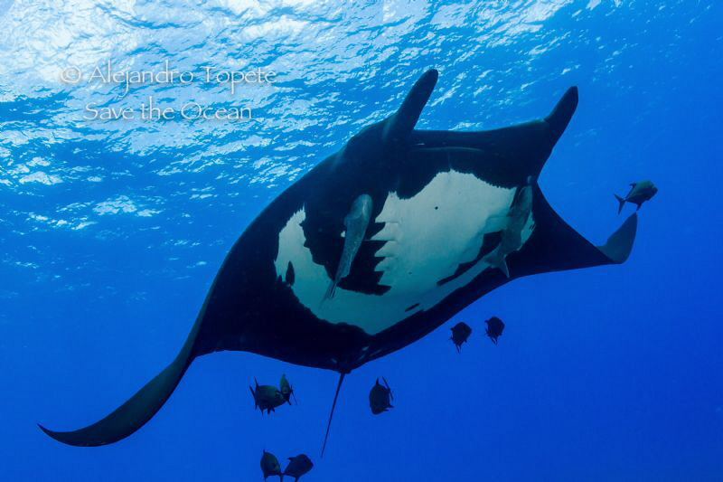 Mantaray with Jacks, San Benedicto México by Alejandro Topete