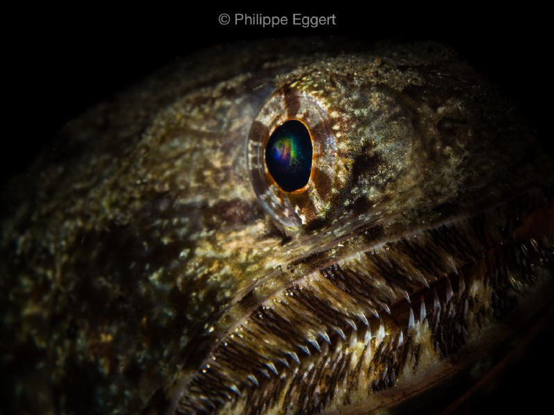 Rainbow in the eye... Giant Lizard fish by Philippe Eggert