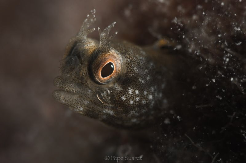 blenny by Pepe Suarez