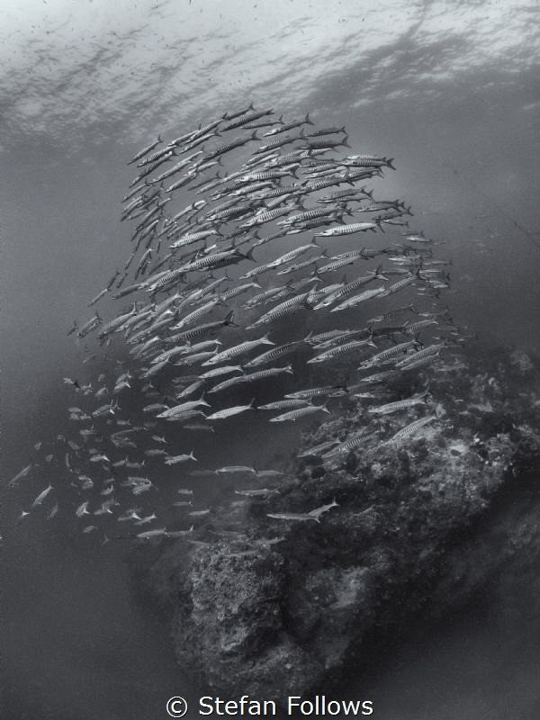 Perpetual  Chevron Barracuda  - Sphyraena qenie  Sail... by Stefan Follows
