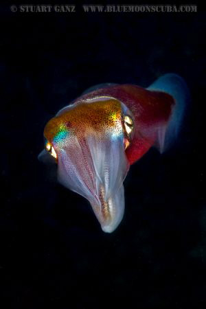 Hawaiian Squid by Stuart Ganz