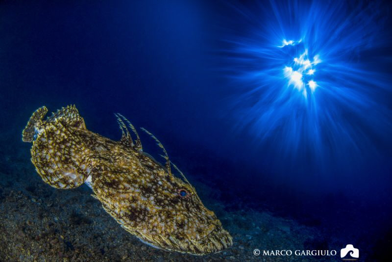 Anglerfish by Marco Gargiulo