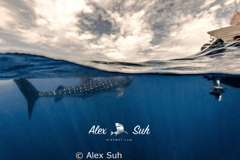 Over Under of Whale Shark by Alex Suh