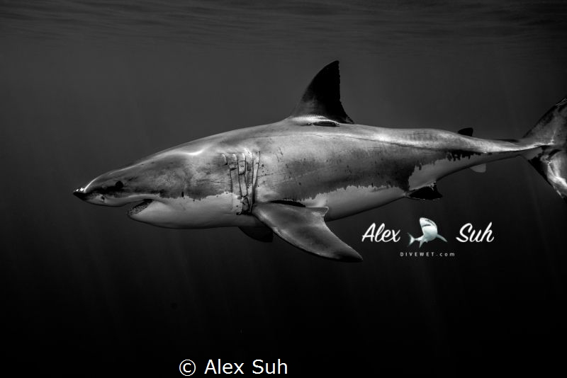 While diving with Great White Sharks by Alex Suh