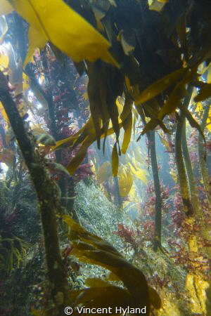 Kelp forest at Wild Derrynane, Skellig Coast, Wild Atlant... by Vincent Hyland