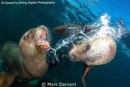 A Sea Lion defends itself against an intruder into its pe... by Marc Damant