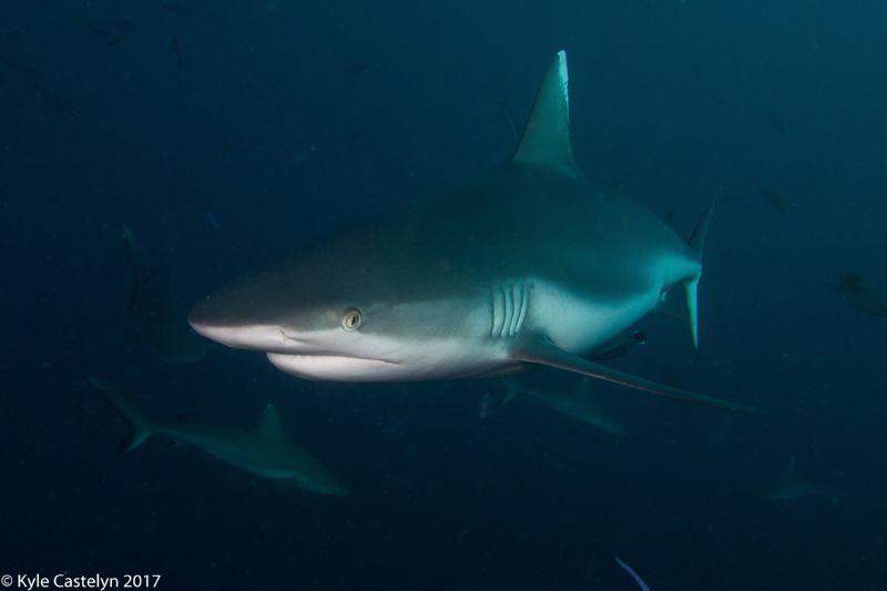 Shark by Kyle Castelyn