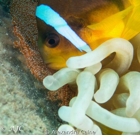 Anemone fish protecting its eggs by Alexandra Caine