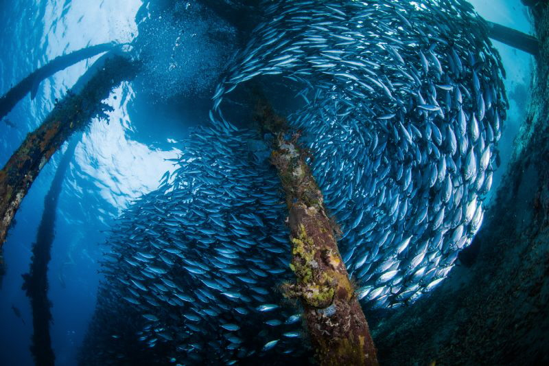 Under the residents island wharf, the fish gathered every... by Tony Ho