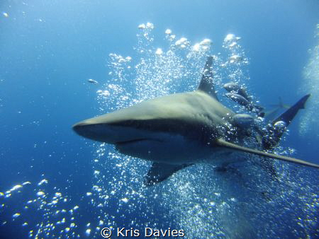 Oceanic Black-tip piercing through a bubble stream of a d... by Kris Davies