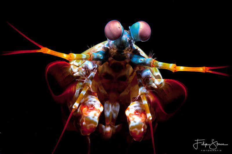 Portrait of a Mantis shrimp, Lembeh strait. by Filip Staes