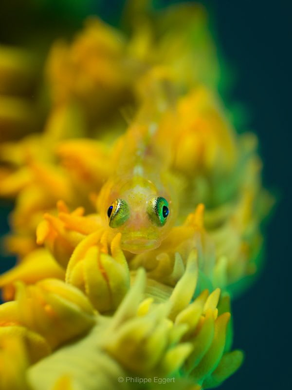 Yellow to Green, Ghost Gobi on whip-coral by Philippe Eggert