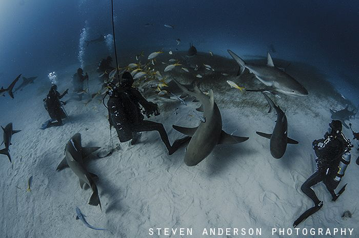 Excitement at Tiger Beach. Healthy sharks make their visit. by Steven Anderson