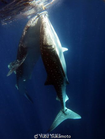 WHALE SHARK IN GORONTALO by Yubz Sukamoto