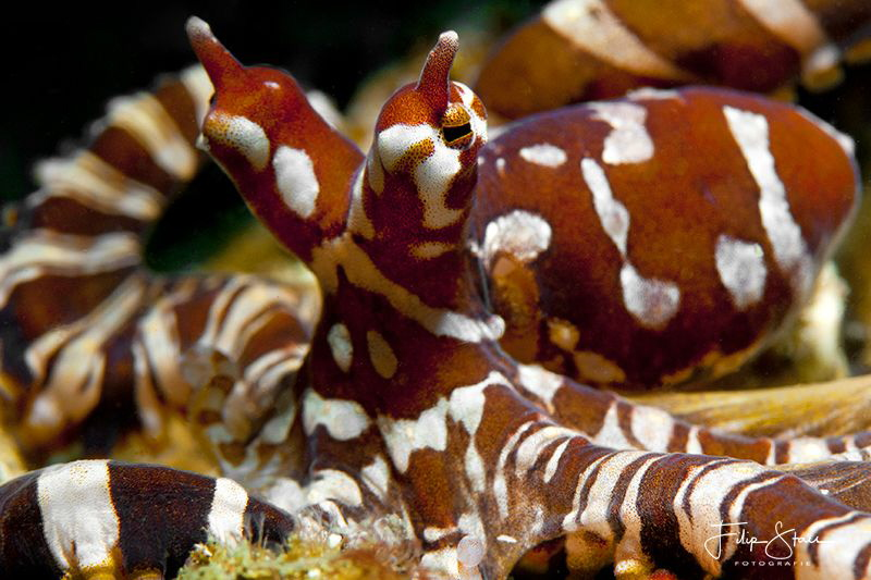 Master of mimicry, Lembeh strait, Indonesia by Filip Staes