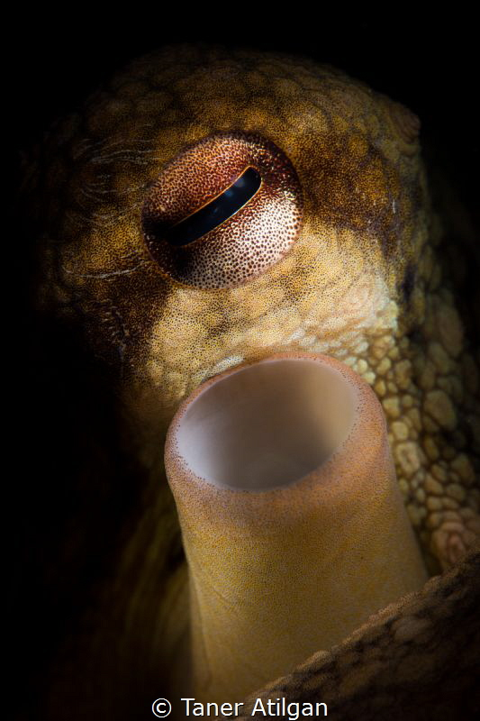 Octopus portrait - No crop by Taner Atilgan