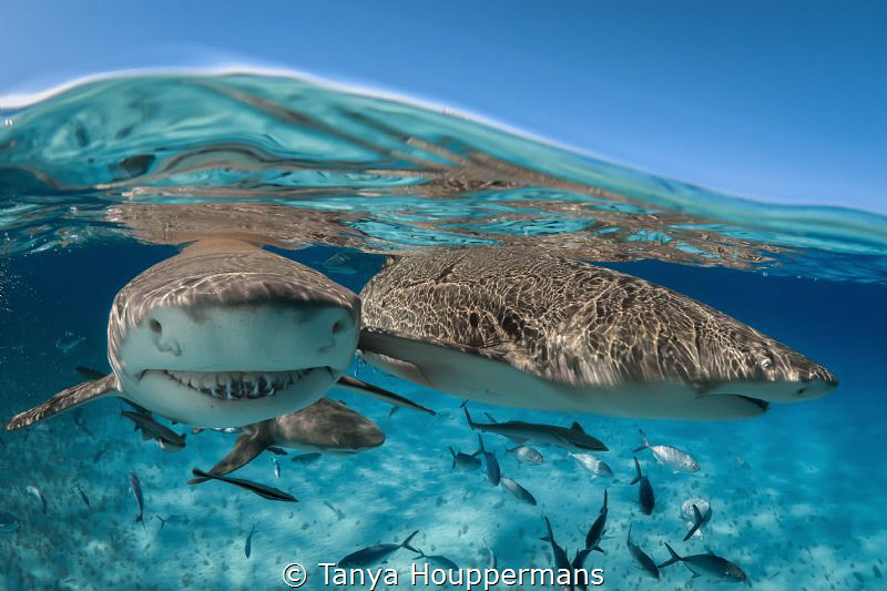 'Lemon Friends' - Two lemon sharks at the surface of the ... by Tanya Houppermans