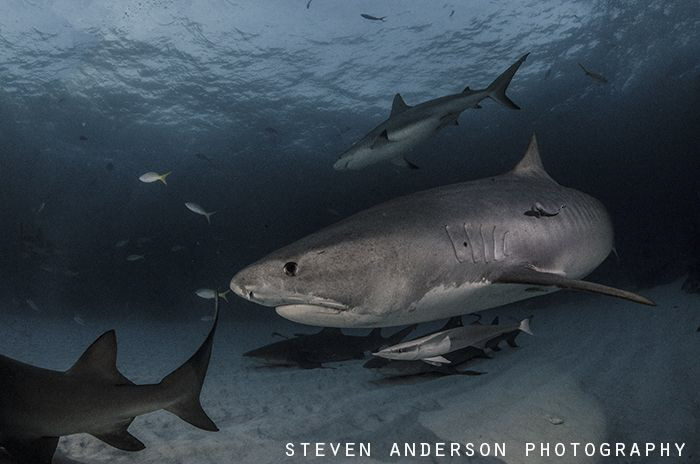 Tiger Sharks make for an exciting night dive at Tiger Bea... by Steven Anderson