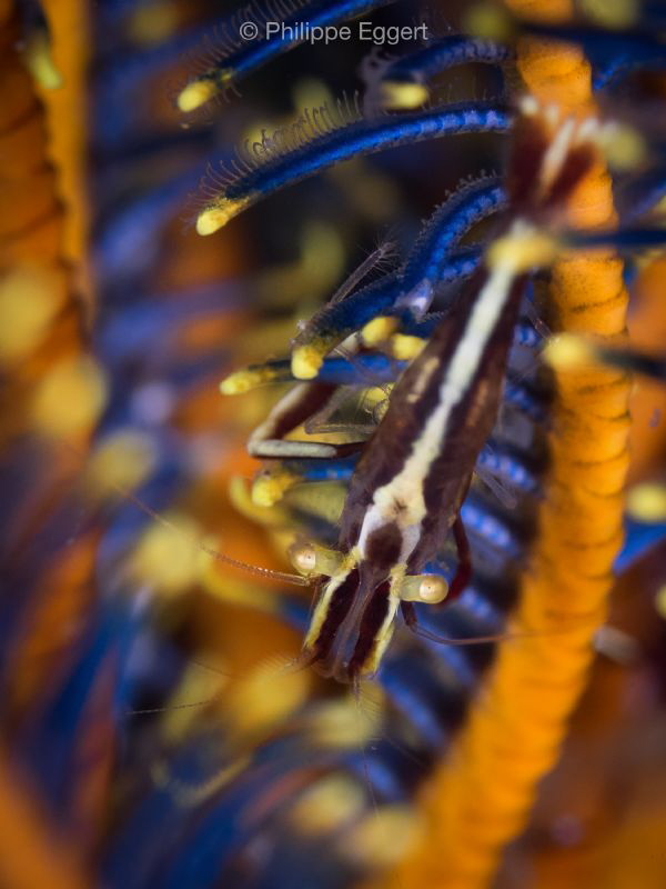 Feather-Star colores... Shrimped by Philippe Eggert