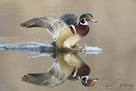 Wood Duck drake landing. by Richard Goluch