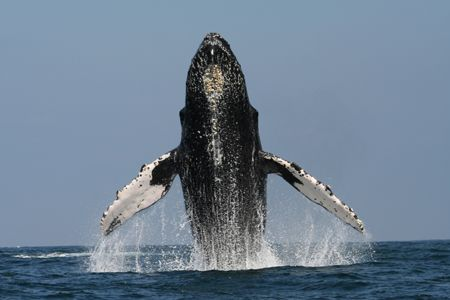 Inspired by nearby competition, this male humpback put so... by Tyania Diffin