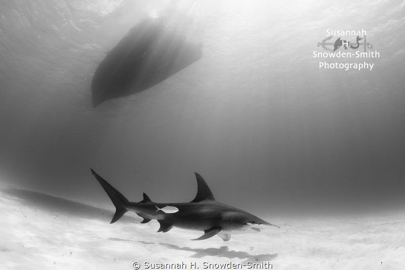 """""""Beauty Under The Boat""""  A great hammerhead glides alon... by Susannah H. Snowden-Smith"""