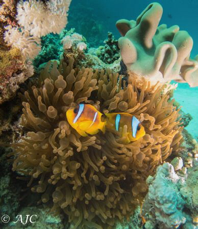 Another anemone fish shot, taken on a boat trip and mostl... by Alexandra Caine