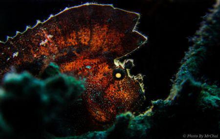 The mohawk hunter Scorpion leaf fish (Taenianotus triaca... by Mr Chai